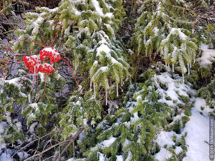 Frozen mountain ash berries and evergreens