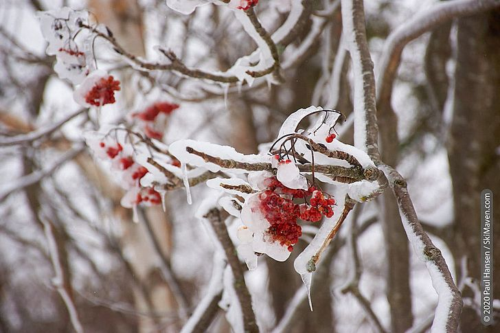 Photo of ice on red berries of a mountain ash tree